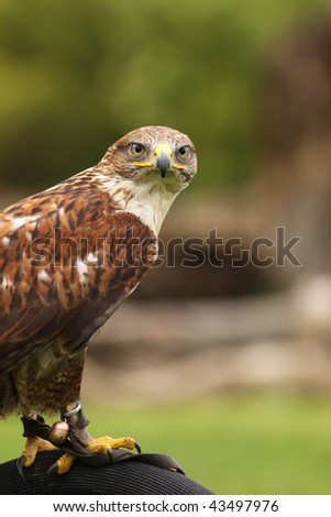 Ferruginous hawk looking at you