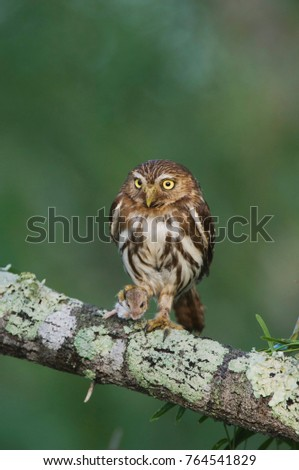 ferruginous pygmy owl glaucidium brasilianum adult willacy county rio grande valley