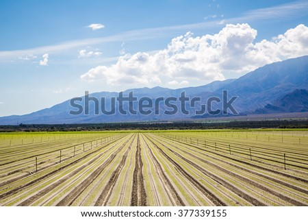 Fertile Agricultural Field of Organic Crops Just Planted Organic Crops Grow on Fertile Farm Field in California after recently being planted. Crops in a row, clear skies and mountains in background.  - stock photo
