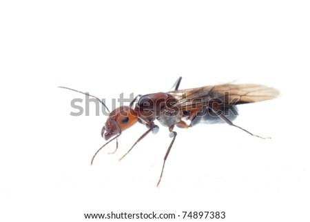 fertile ant - stock photo