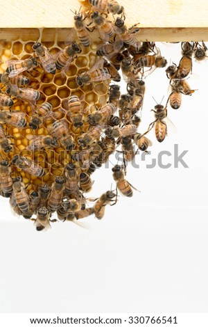 Festooning is  a little understood honey bee behavior. Here the worker bees create chains while building natural beeswax foundation, - stock photo