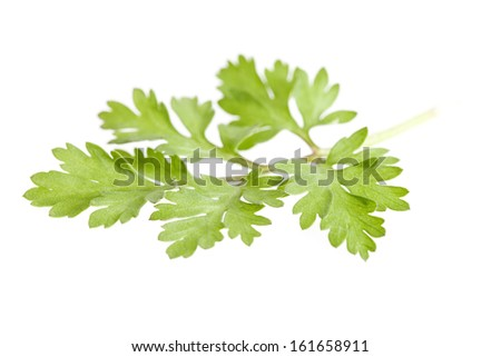 Feverfew leaf isolated on white background with shallow depth of field