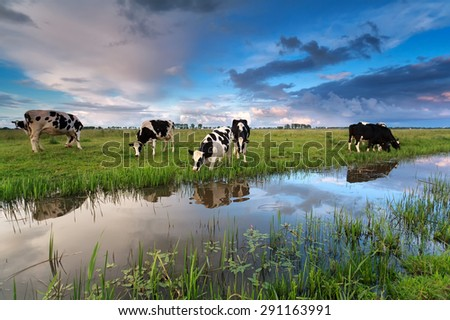 few cows grazing on pasture by river at sunset - stock photo