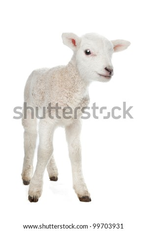 Few days old Lamb standing in front of a white background - stock photo