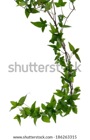 Few dense ivy (Hedera) stems isolated on white background. Creeper Ivy stem with young green leaves. - stock photo