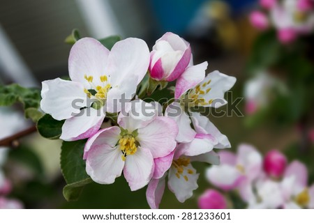 Few pink blossoms on apple tree branch - stock photo