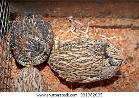 Few quails in a cage - stock photo
