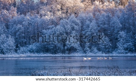 Few swans at sunrise on frozen lake - stock photo