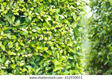 Ficus Annulata In The StreetBanyan Tree For Wallpaper Background