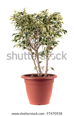 Ficus Benjamin - stock photo