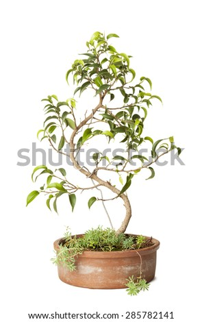 Ficus Benjamin bonsai isolated on white background with clipping path