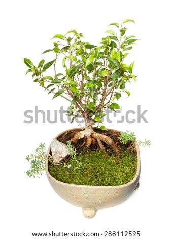 Ficus Benjamin bonsai isolated on white background with clipping path - stock photo