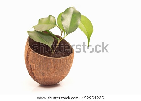Ficus benjamin in coconut pot isolated on white