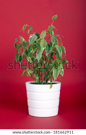 Ficus Benjamin Plant on Red Background - stock photo