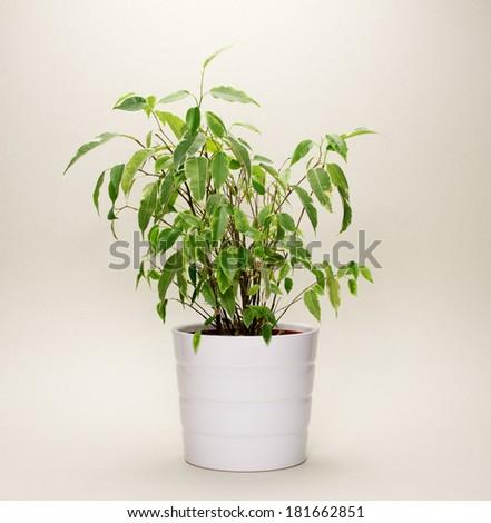 Ficus Benjamin Plant on White Background - stock photo