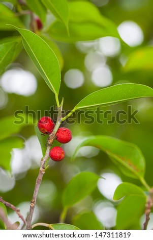 Ficus benjamina fruit or Weeping fig on it's tree in nature - stock photo