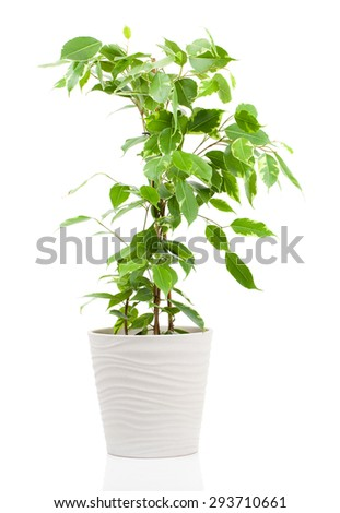 Ficus benjamina in flowerpot isolated on white background. - stock photo