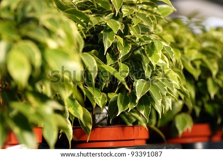ficus benjamina in pots in garden center - stock photo