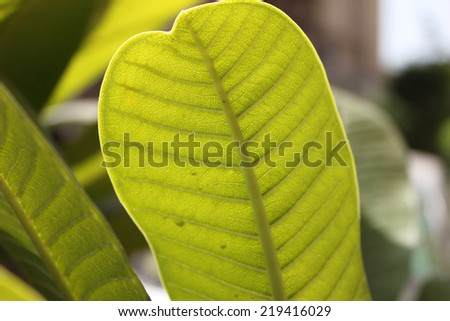 ficus branch, rubber plant, back of leaves - stock photo