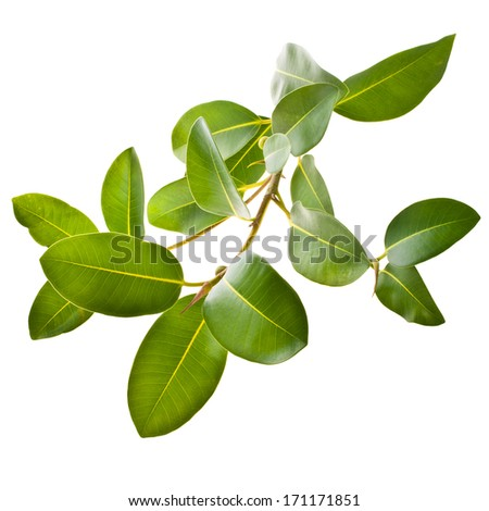 ficus branch, rubber plant  isolated on white background - stock photo