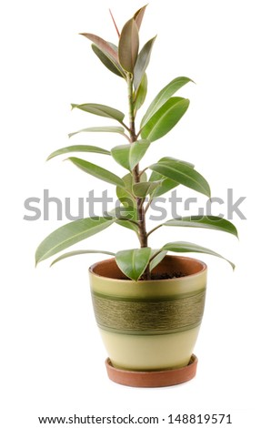 Ficus elastica houseplant in pot isolated on white