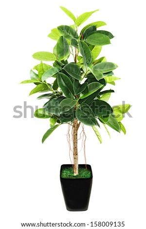 Ficus elastica (Indian Rubber Bush) in black flowerpot on white background. - stock photo