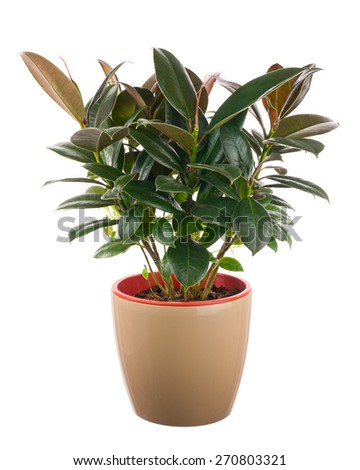 Ficus elastica (Indian Rubber Bush) in light brown flowerpot isolated on white background. Closeup.