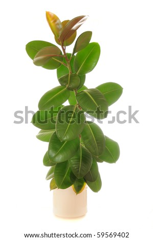 Ficus Elastica (Rubber Plant) in Pot - stock photo
