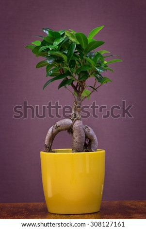 Ficus ginseng in a yellow pot  - stock photo