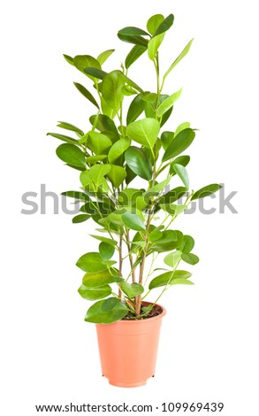 Ficus in the brown pot isolated on white background - stock photo