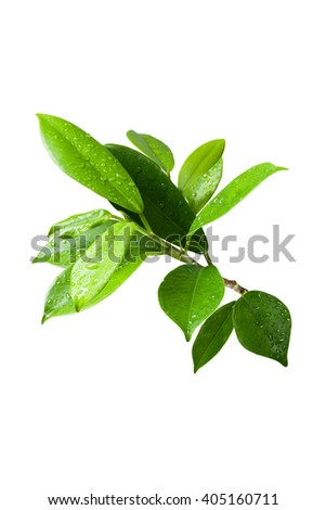 Ficus leaves bunch group close up isolated on white background