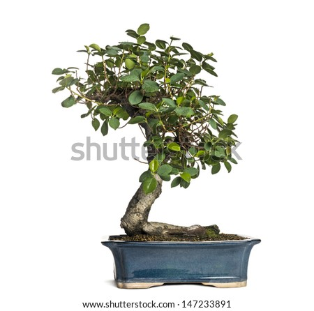 Ficus panda bonsai tree, ficus retusa, isolated on white - stock photo