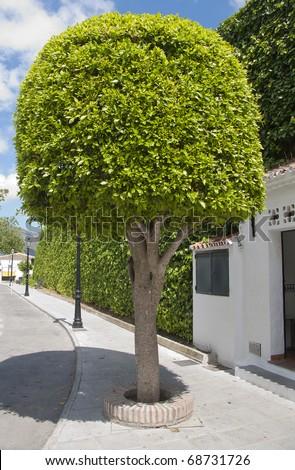 ficus tree [ficus benjamina]. - stock photo
