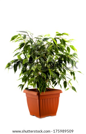 ficus tree in a brown pot isolated on white background - stock photo