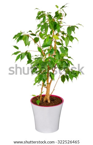 Ficus tree in flowerpot isolated on white - stock photo