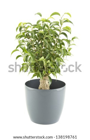 Ficus tree in flowerpot.  Plant in a pot. Isolated