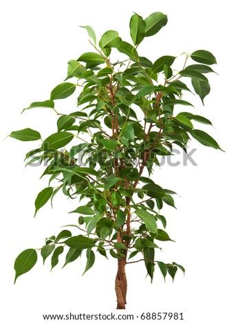 ficus tree isolated on white background - stock photo
