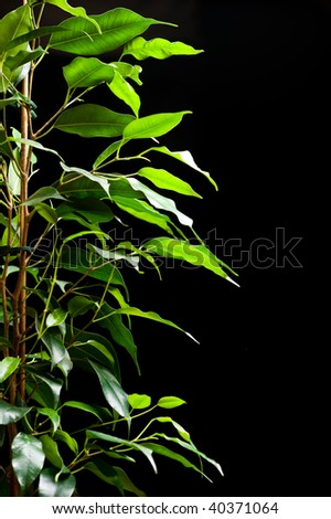 Ficus tree with many green leaves on black background - stock photo