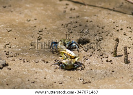 Fiddler crab, Ghost crab walking in the mangrove - stock photo