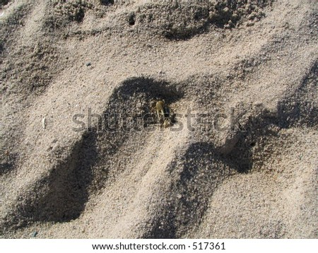 Fiddler Crab in Beach Sand - stock photo
