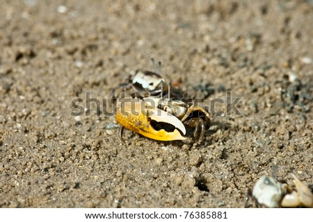 Fiddler Crab in the mangrove - stock photo
