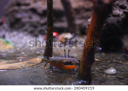 Fiddler Crab on the wetland - stock photo