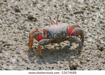 Fiddler Crab walking in the mangrove - stock photo