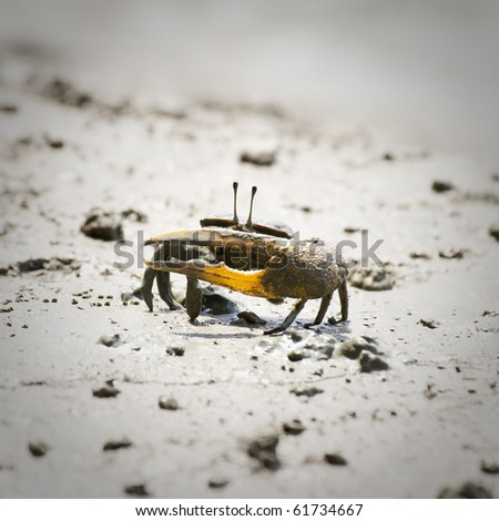 Fiddler Crab walking in the mangrove