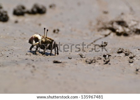 Fiddler Crab walking in the mangrove ,Thailand. - stock photo