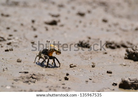 Fiddler Crab walking in the mangrove ,Thailand.