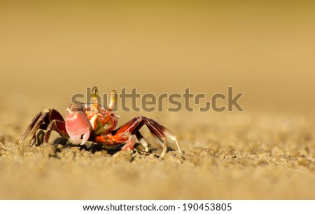 Fiddler Crabs in Malaysia, Borneo. The crab's smaller claw picks up chunks of sediment and brings it to the mouth where its contents are sifted through and redeposited as round balls near its burrow - stock photo