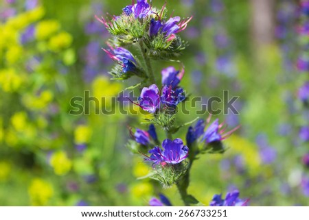 field blue flowers bloom in the meadow on a sunny day - stock photo