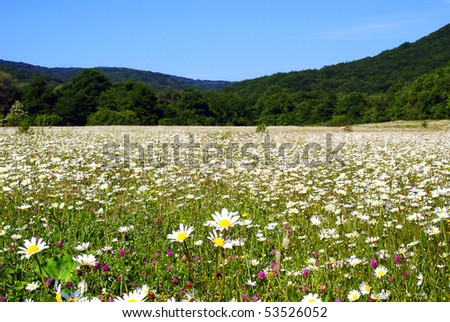 field camomile and mountains in the background - stock photo