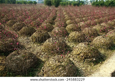 field cherry blossoms flowers - stock photo